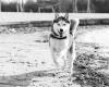 Husky hond rennend zwart-wit